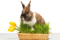 Bunny is in box of grass with tulip Stock Photos