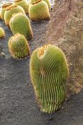 pile of Echinocactus grusonii, cactus typical of southern hemisphere countrie - stock photo