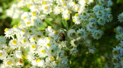 Bee Gathering Pollen From Small Daisy Flowers Stock Footage