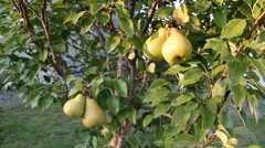 Beautiful green pears hanging on the branches of a pear Stock Footage