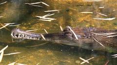 Gharial (Gavialis gangeticus) In Pond - stock footage