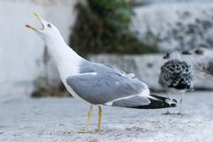 Seagull with open mouth - stock photo