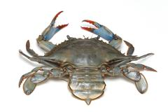 Alive blue crab with sharp claws Stock Photos