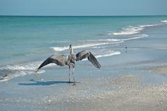 Great Blue Heron and Shorebirds on a Florida Beach Stock Photos