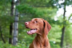 Vizsla Dog (Hungarian Pointer) Portrait Stock Photos