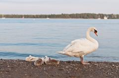 Mute Swan with Cygnets on a Beach - stock photo