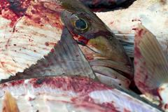 Gutting Fish - stock photo