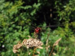 Red dragonfly on the stalk Stock Photos