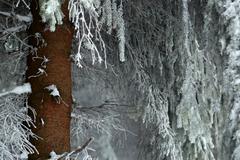 Trunk spruce Stock Photos