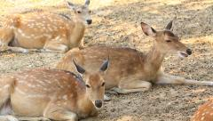 Sambar Deer (Cervus unicolour) in zoo (two shot) Stock Footage