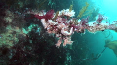 Stock Video Footage of Underwater exotic landscapes, inhabitants and creatures in Barents Sea.
