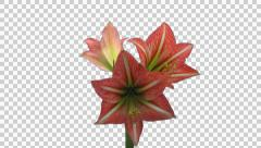 "Time-lapse of opening amaryllis ""Minerva"" Christmas flower with ALPHA - stock footage"