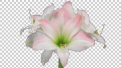 Time-lapse of opening amaryllis Apple Blossom Christmas flower (2K) Stock Footage