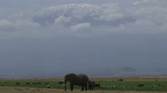An elephant standing under the mountain kilimanjaro Stock Footage