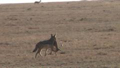 A jackal with a kill of a baby gazelle. Stock Footage