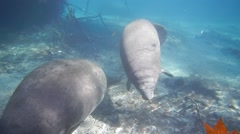 Mother and baby manatee Stock Footage