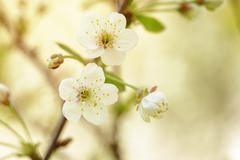 White flowers on cherry blossom Stock Photos