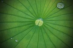 Water droplets on Lotus leaf Stock Photos