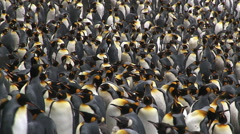 King Penguin colony Stock Footage