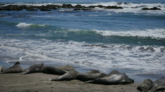 Elephant Seals Slow Motion 96fps 05 Pacific Coast California Stock Footage