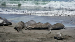 Elephant Seals Slow Motion 96fps 06 Pacific Coast California Stock Footage