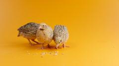three quail pecking corn - stock footage