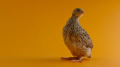 quail perching on orange background - stock footage