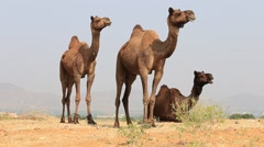 Camel at the Pushkar Fair ( Pushkar Camel Mela ) Rajasthan, India Stock Footage