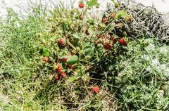 Beautiful wild strawberries into the Navarra's forest. Stock Photos