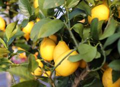 lemons in the tree of the Orchard of the Mediterranean European country - stock photo