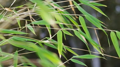 Fresh bamboo leaves over water. Stock Footage