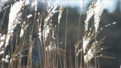 Sugarcane field. Stock Footage