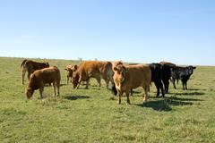 Limousin Cattle - stock photo