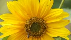 Honeybee on sun flower Stock Footage