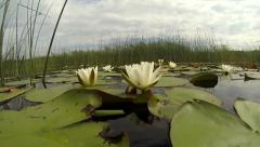 Nymphaea candida flowering on lake surface Stock Footage