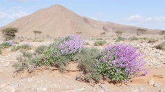 Wild pink flowers waving in the wind in Morocco desert Stock Footage