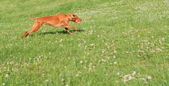 Vizsla Dog Running in the Grass Kuvituskuvat