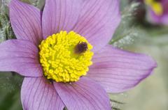 Close-up of flowering purple pasque flower (Pulsatilla) Stock Photos