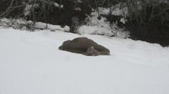 Dead deer in winter - stock footage