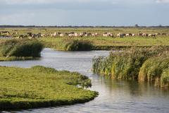 Dutch wetland with horses in National Park Oostvaardersplassen Stock Photos