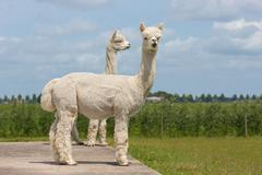 Two peruvian alpacas in a Dutch animal park - stock photo