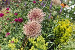Lush garden with allium and Field Scabiou - stock photo