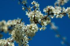 Abloom branch - stock photo