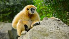 Endangered Lar Gibbon on a Rock at Chiang Mai Zoo Stock Footage