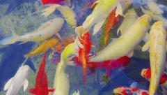 Colorful Fish in a Pond in Thailand Stock Footage