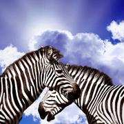 Stock Photo of Two Zebras on the sky
