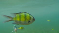 Close-up shot of yellow-striped sergeant fish in Thailand - stock footage