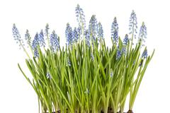 Muscari botryoides flowers also known as blue grape hyacinth in closeup over  Stock Photos