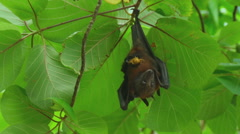 Stock Video Footage of Flying fox