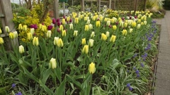dolly shot Tulip Flower Bed - stock footage